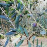 2019年のイタリア産エキストラヴァージンオリーブオイルは?地球温暖化がオリーブオイルの値段にも影響!?
