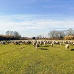 リコッタチーズの出来立て!羊がいるローマアッピア旧街道近くの公園で食べる!